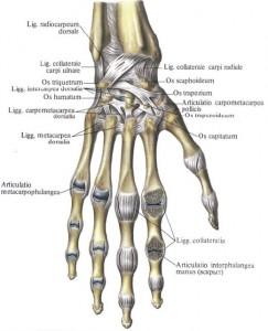 Лучезапястный сустав